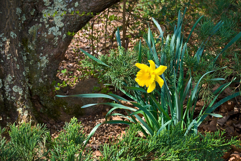 """Spring Daffodil""<br /> <br /> A daffodil near a tree in an early Spring garden."