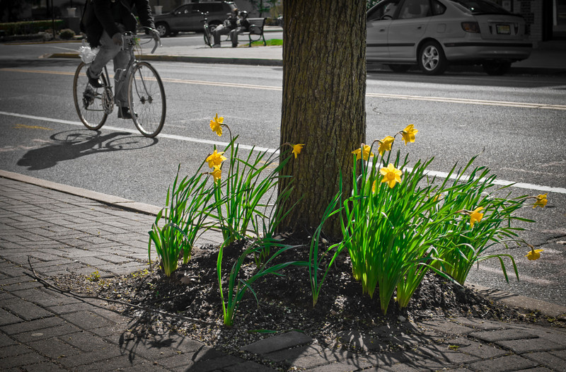 Daffodils along Main St. in Spring Lake, New Jersey.