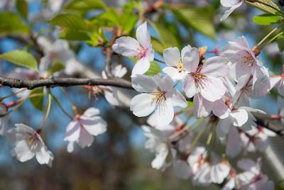 Soft Focus Cherry Blossoms