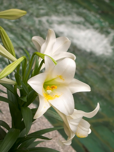 Lilly Water<br /> A close-up of an Easter Lilly in a small garden by a fountain.