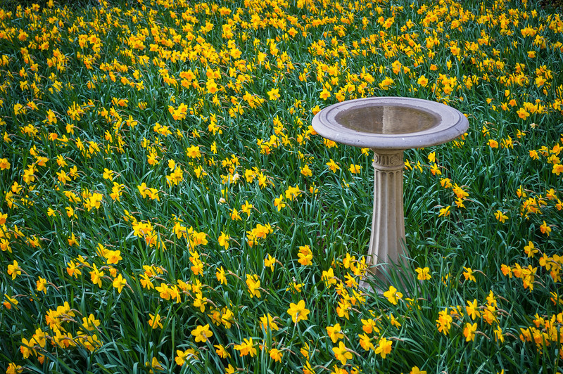 Daffodils and Birdbath