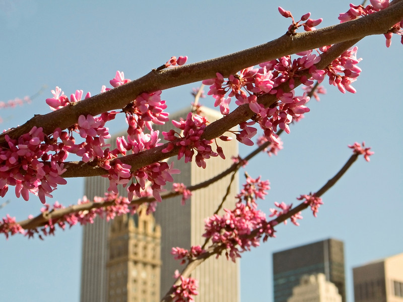 """Spring Branch""<br /> Early Spring blossoms in central Park in New York City."