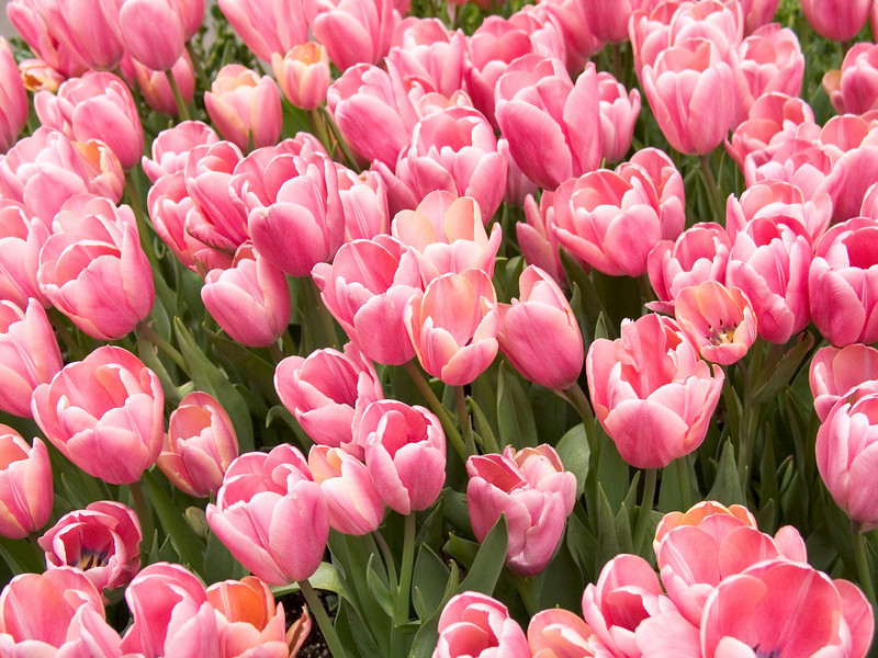 """Pink Tulips""<br /> A bed of pink tulips in a Spring Garden."