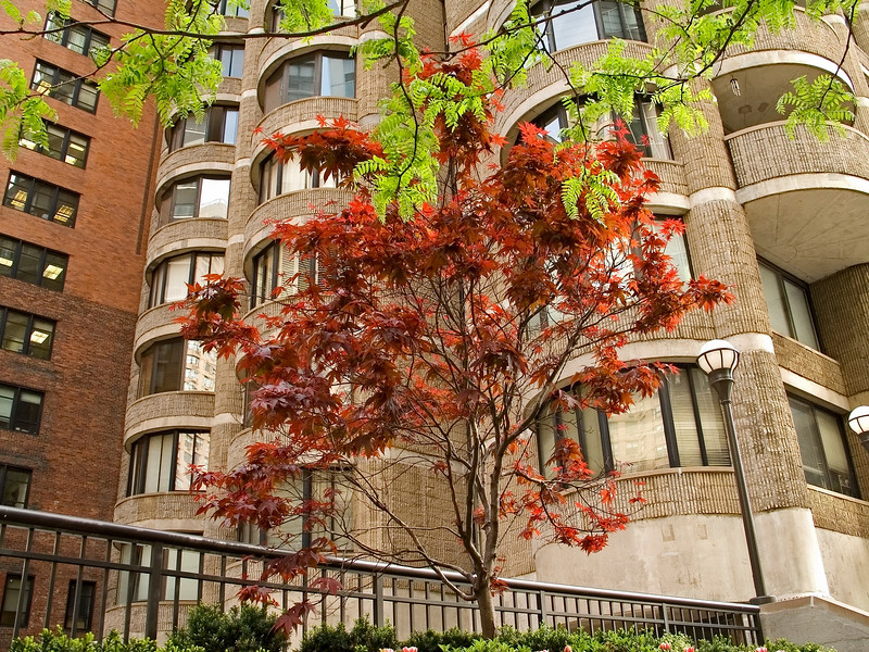 """Bit of Nature""<br /> A maple tree in front of an apartment building in Manhattan."