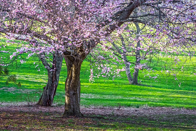 Green Grass and Cherry Blossoms