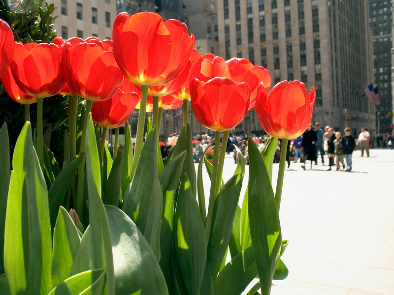 """Tulips New York City""<br /> Spring tulips in full bloom on the streets of Manhattan."