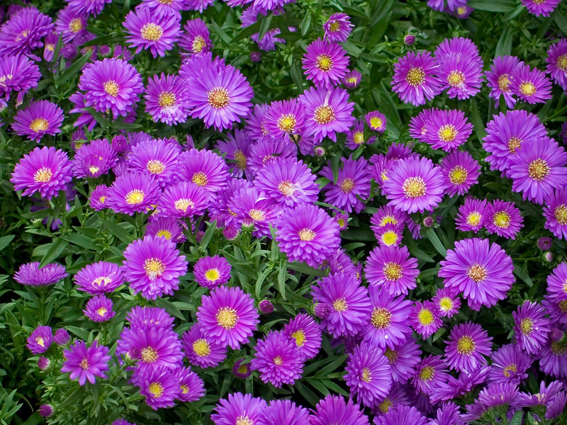"""Purple Mums""<br /> A flowerbed of purple mums in a spring garden."