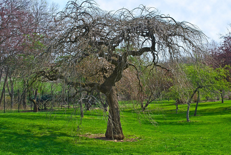 """Ornamental Tree""<br /> <br /> An ornamental tree in the arboretum in Holmdel park in New Jersey."