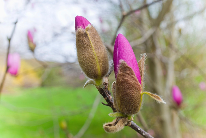 """Two Buds""<br /> <br /> A closeup of two flower buds on a Spring tree in Central New Jersey."