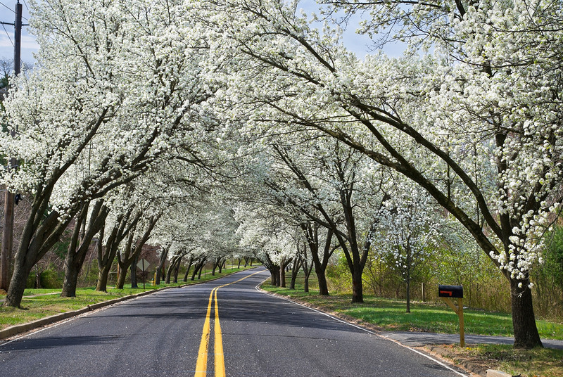 """Spring Road""  White Spring blossoms overhang this country road in Holmdel, New Jersey."