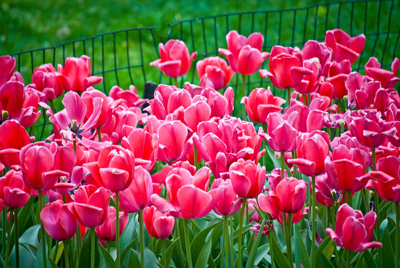 """Tulips"" 2012<br /> <br /> Vibrant pink tulips in a garden in Central Park in Manhattan."