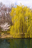 Spring Weeping Willow