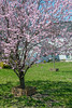Cherry Blossoms in Front Yard