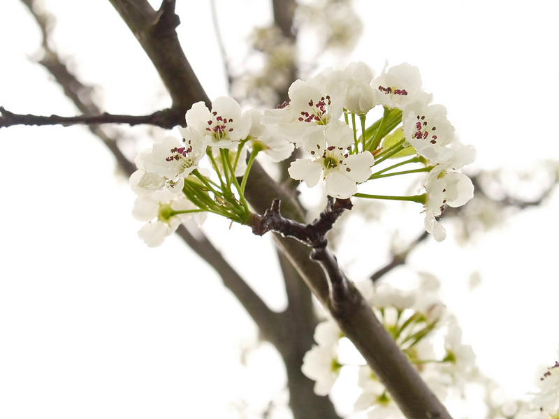 """Spring Blossom""<br /> A close-up of a dogwood tree branch, one of the earliest Spring blossoms in Central New Jersey."