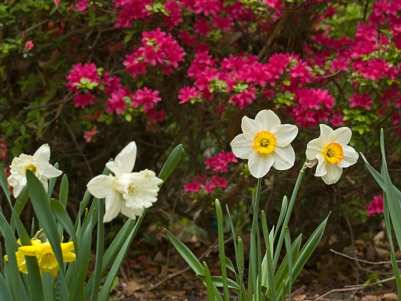 """Bright Spring""<br /> Daffodils and Spring blossoms in Holmdel Park in Central New Jersey."
