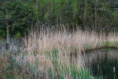 Wetland Red Winged Blackbird