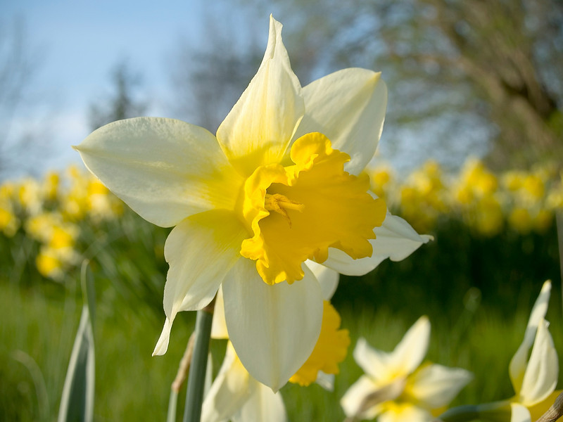 A close-up look at a daffodil in full bloom with a soft background.