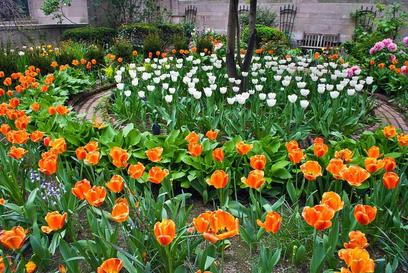 """Orange and White Tulips""<br /> <br /> An early Spring ornamental tulip garden on Park Avenue in New York City."