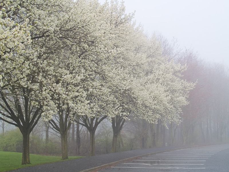 Early morning fog and Spring blossoms on the dogwood trees in this Manalapan, NJ park.