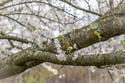 Capital Pear Flowers