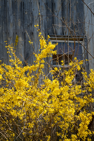 Forsythia and Barn