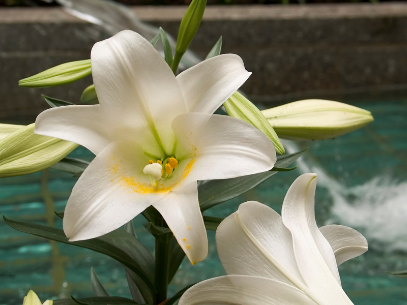 Easter Lilly <br /> A close-up of an Easter Lilly in a small garden by a fountain.