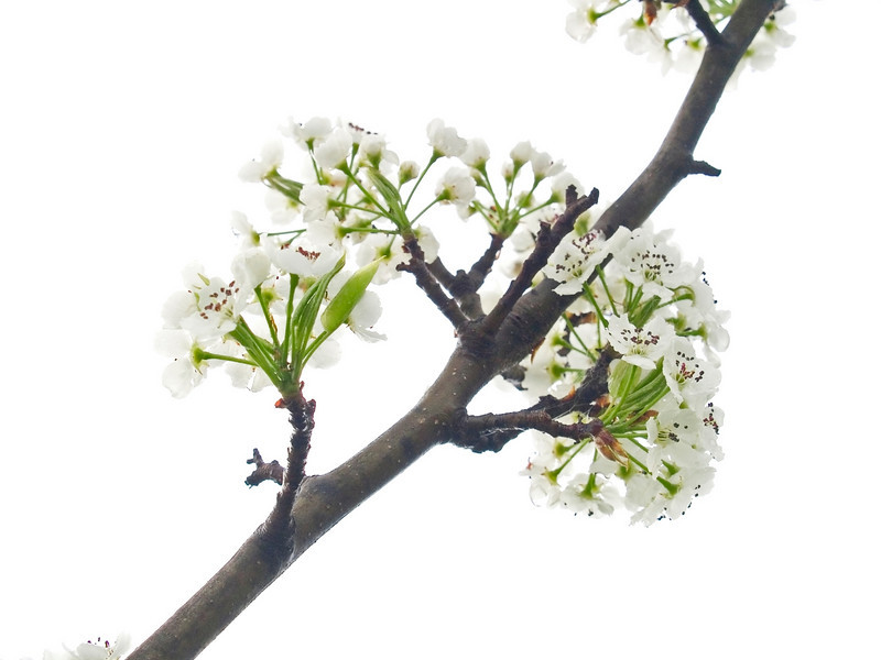 """Spring Blooms""<br /> A close-up of a dogwood tree branch, one of the earliest Spring blossoms in Central New Jersey."