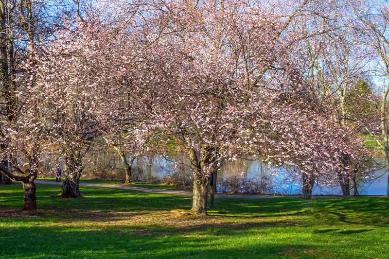 Cherry Blossom Tree in Park
