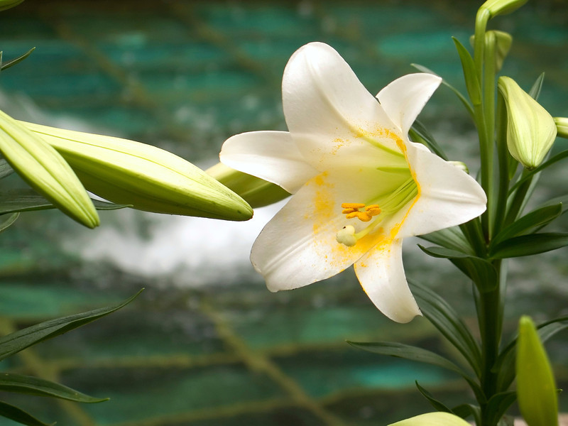 """Easter Lilly""<br /> A close-up of an Easter Lilly in a small garden by a fountain."