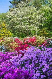Colorful Azaleas