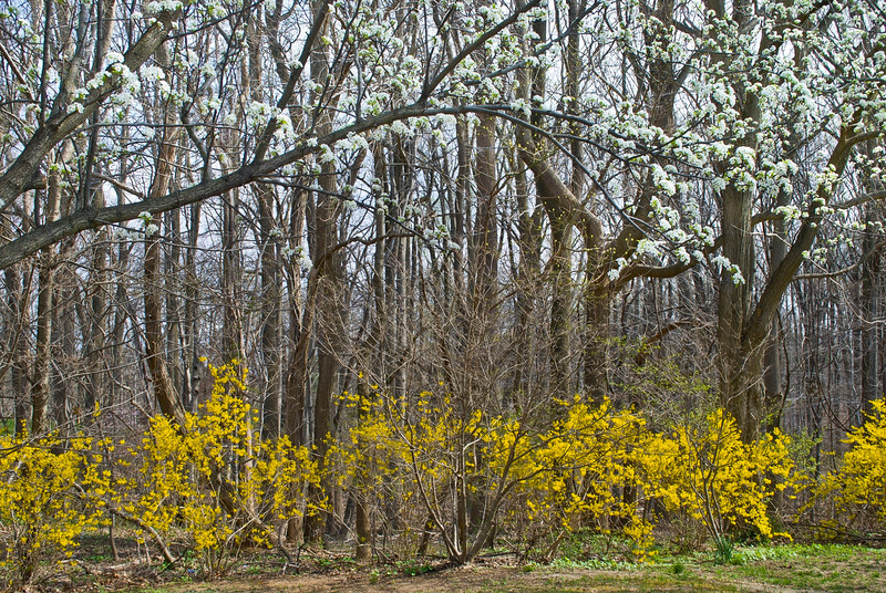 """Signs of Spring""<br /> <br /> Early signs of Spring are the yellow forsythia bush and blossoms on the trees."