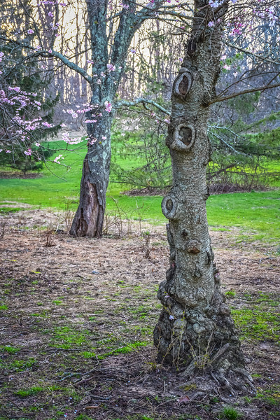Knotty Wood in Spring