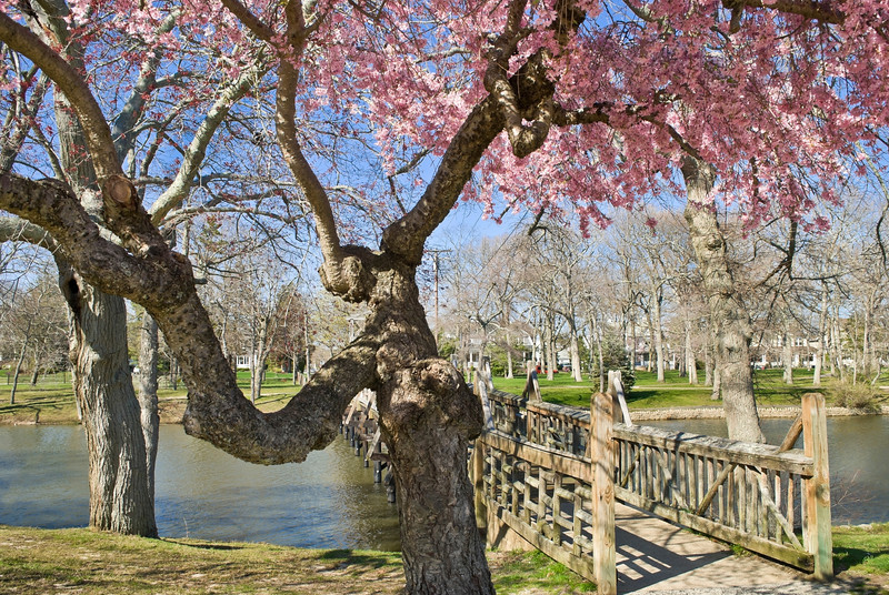 Cherry Blossoms in full bloom near the footbridge in Spring Lake, along the Jersey shore.