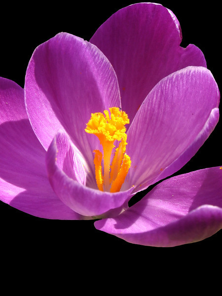 """Purple Crocus""<br /> A close-up of a purple crocus, one of the earliest signs of Spring against a black background."