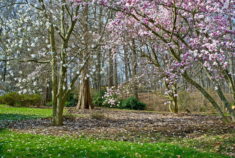 """Spring Blossoms""<br /> <br /> A flowering Magnolia tree and dogwood during Spring in Central New Jersey."