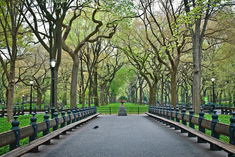 """Spring Sycamore Trees""<br /> <br /> An early Spring view of rows of sycamore tress along The Mall area of Central Park."