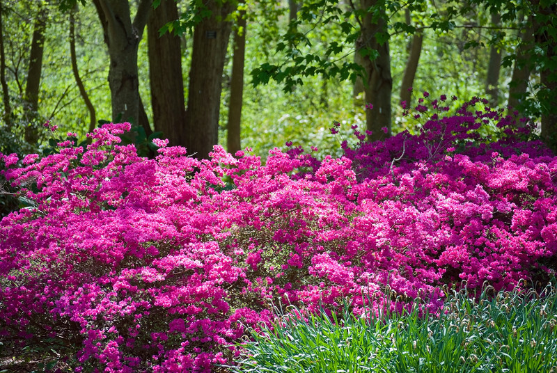 Pink azalea bush's against a Spring woods in Bayard Gardens in Long Island.
