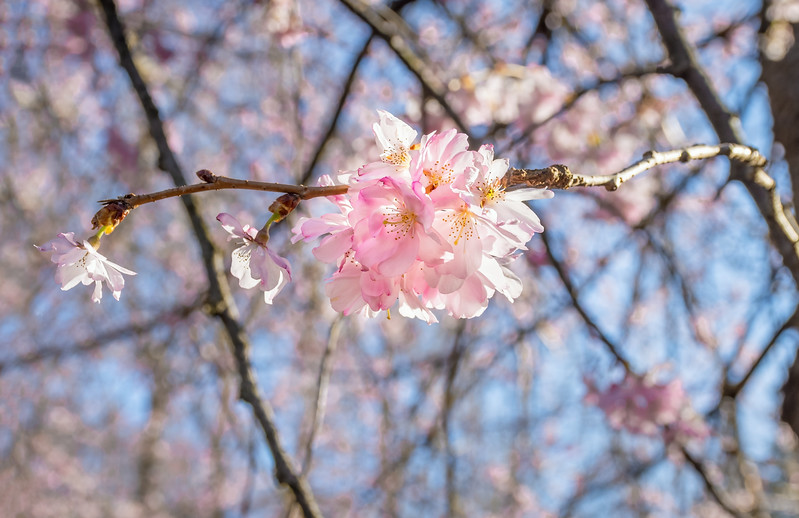Sunlight on Cherry Blossoms