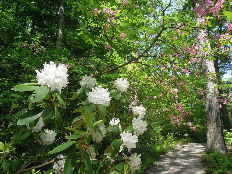 Rhododendron in bloom at Garden in the Woods, Dramingham