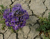 Seemingly Inhospitable Environment<br /> wild heliotrope or phacelia distans