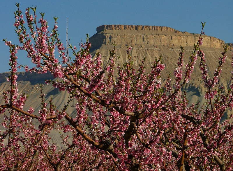 Mount Garfield from the peach orchards in Palisade