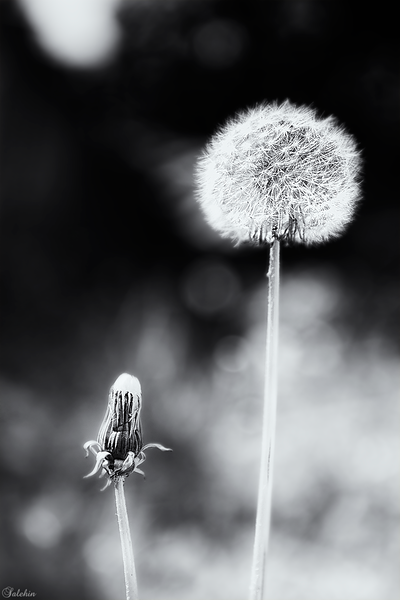 Just Another Dandelion