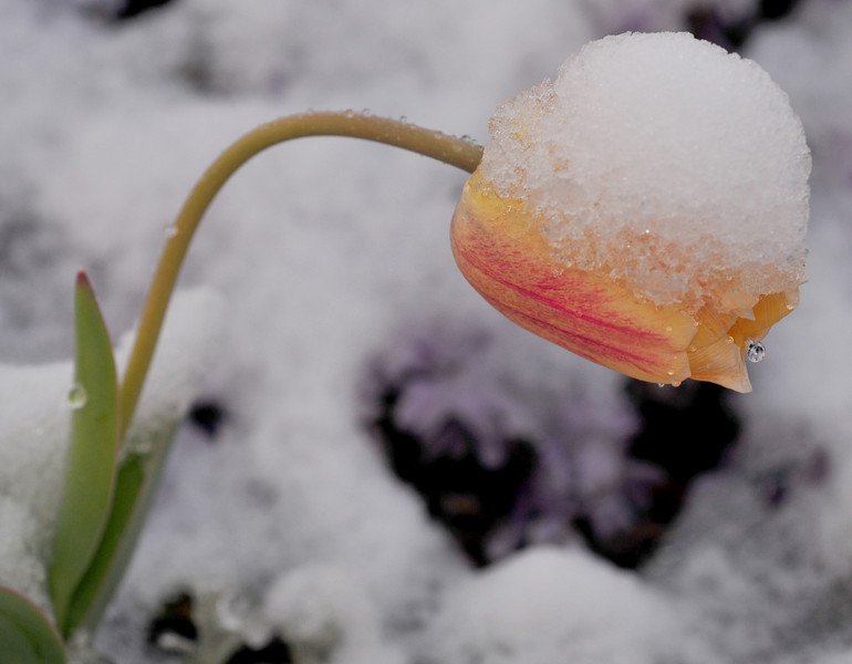 weepy tulip