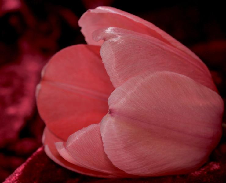 One of a myriad of tulips