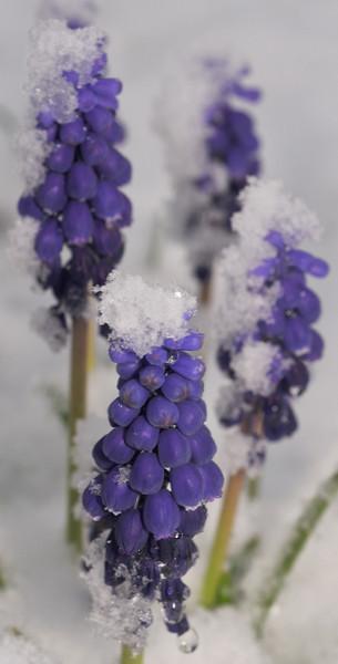 Chilled Grape Hyacinth