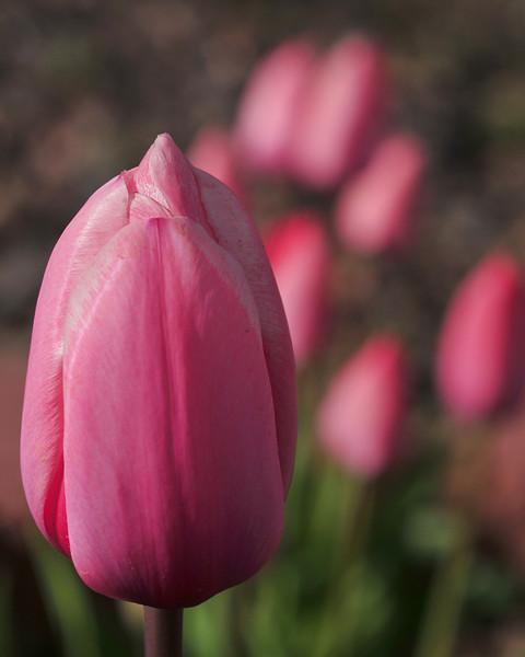 tulips aplenty