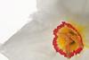 dainty daffodil