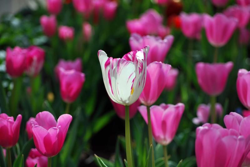 One White Tulip-Pink-161