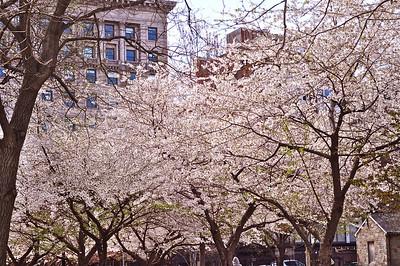 Blooming trees in Boston Public Garden