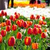 Amidst the tulip garden